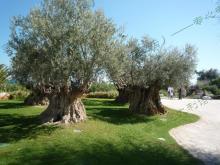 海边步行街特色景点橄榄树